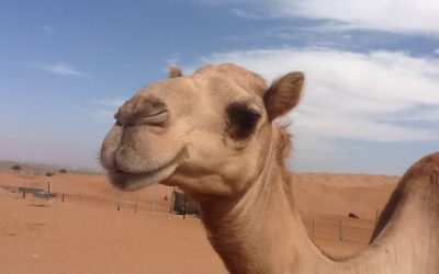 Camels and beauty