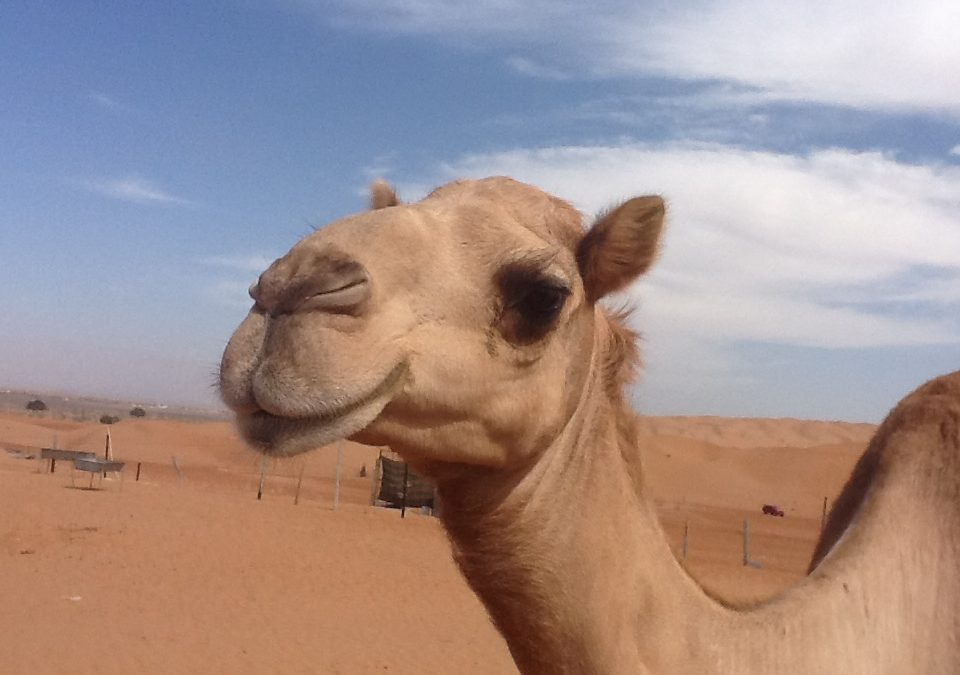 Camels and beauty - ARABIC ONLINE