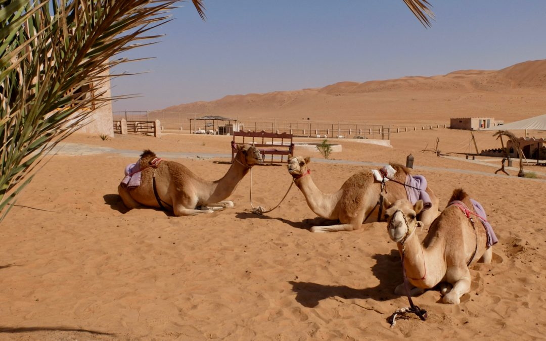 Camel proverbs and camel facts