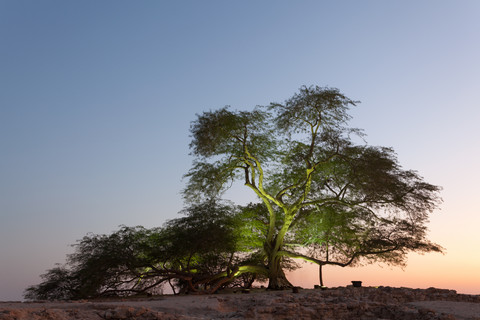 Tree of Life in Bahrain –  a symbol of hope