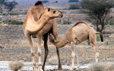 Benefits of camel milk