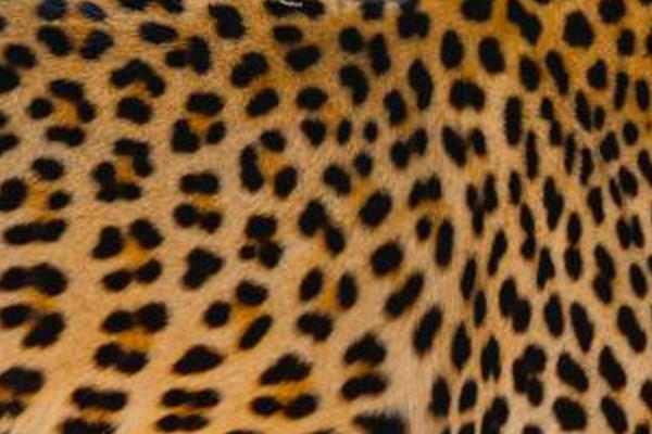 Arabian Leopard in danger of extinction